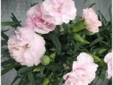 0a3e0a003dd1712b6c876400146ablavender_pink314