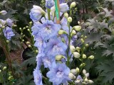 Delphinium Guardian Blue
