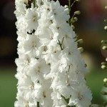 Delphinium Guardian White