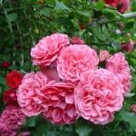 Rosarium Yetersen