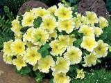 petuniya_grandflora_dolche_limon