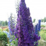 Delphinium Pacific Black Knight