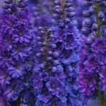 Pagan Purples