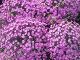 гвоздика почвовопокровная2