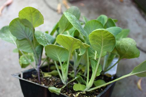 Купить рассаду капусты