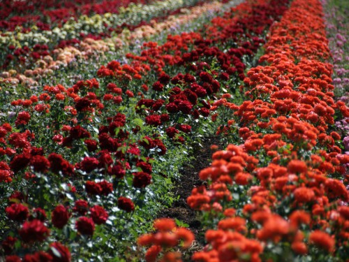 Купить саженцы роз в Туле