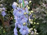 Delphinium Guardian Blue