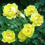 Yellow Persian