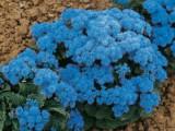 ageratum-blue