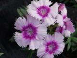 gvozdika_diana_lavender_pikoti