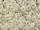 lobularia-maritima-wonderland-white