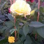 r-flor2