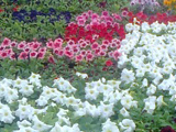 rass-1-let-cvetov