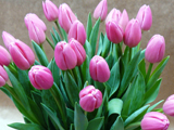 srez-tulip