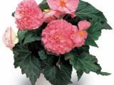 Бегония клубневая махровая Fortune Розовая