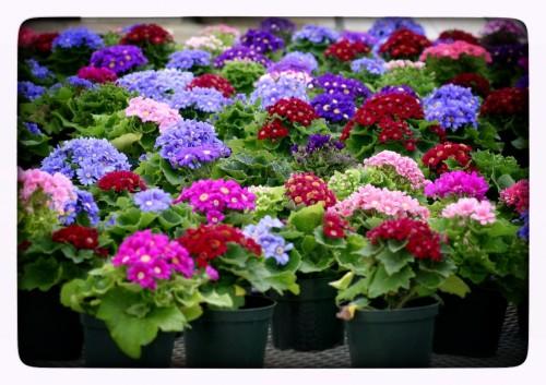 Купить рассаду цветов