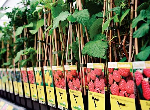 Купить саженцы малины в Туле