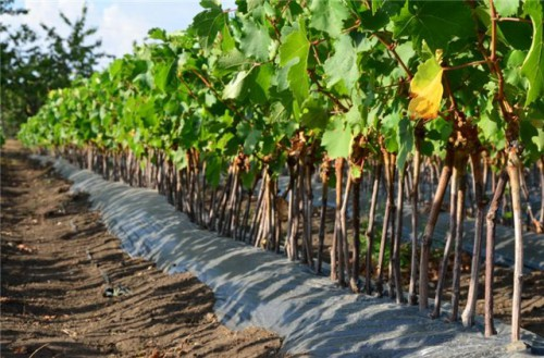 Купить саженцы винограда в Туле