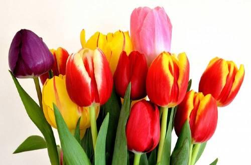 Тюльпаны оптом в Туле